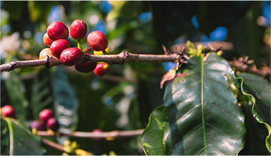 Waialua Estate - Premium Coffee Grown and Roasted in Hawaii